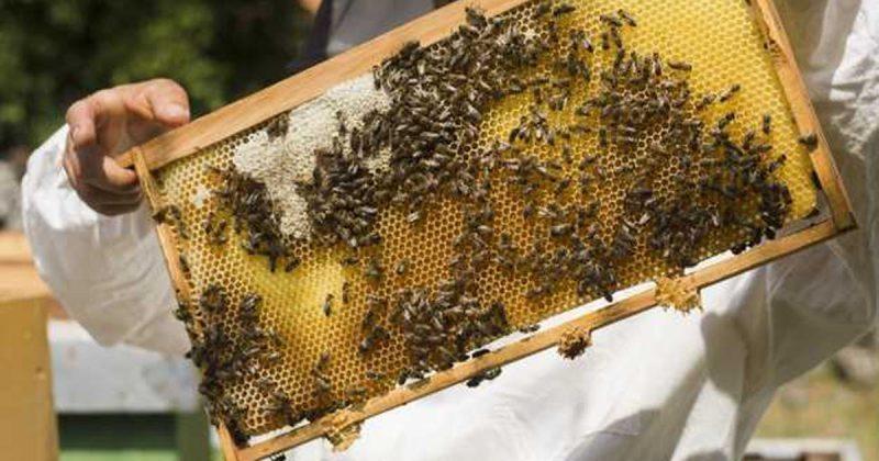 Какъв е произходът на пчеларството и методология на пчелите?